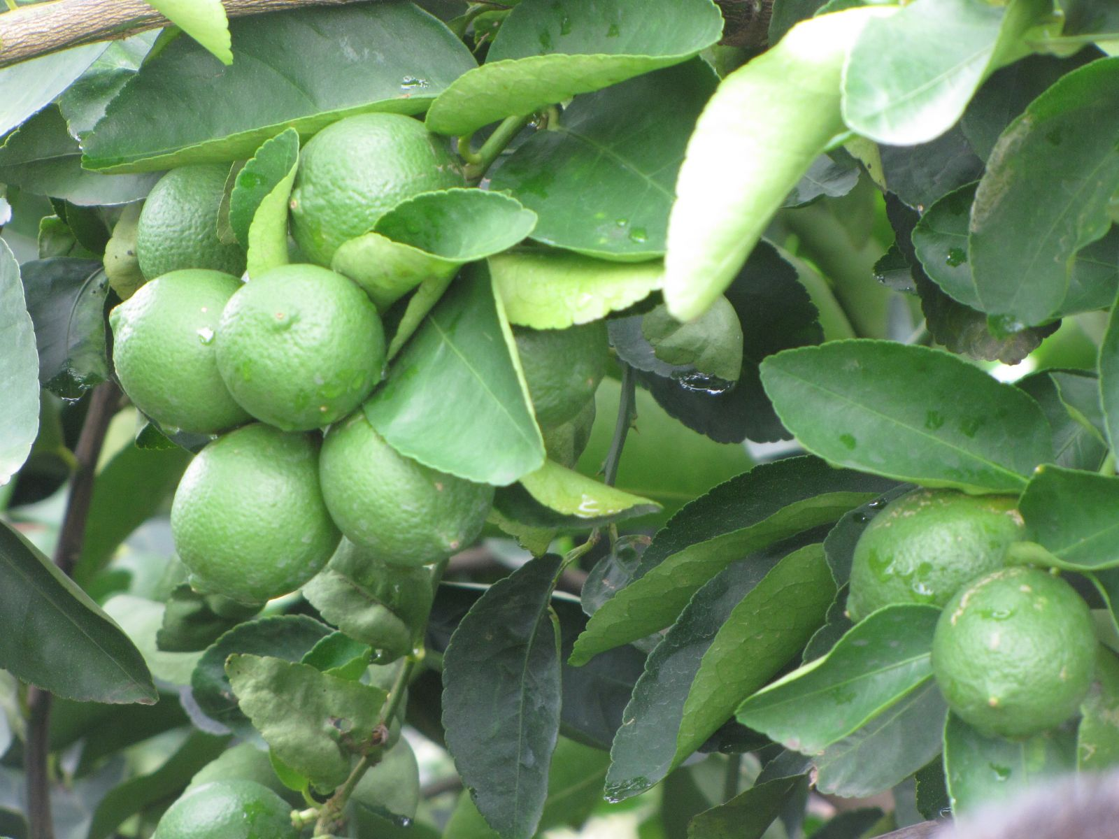 Seedless lemons are one of the products to be promoted in 2020 to enhance the goodwill